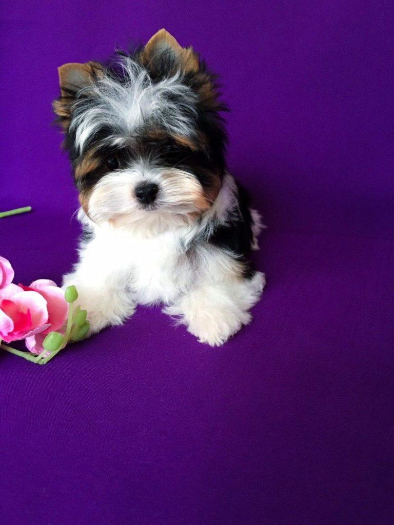Biewer yorkshire puppy